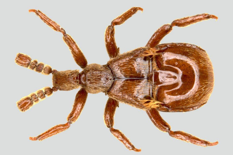 pselaphid beetle (Claviger testaceus)