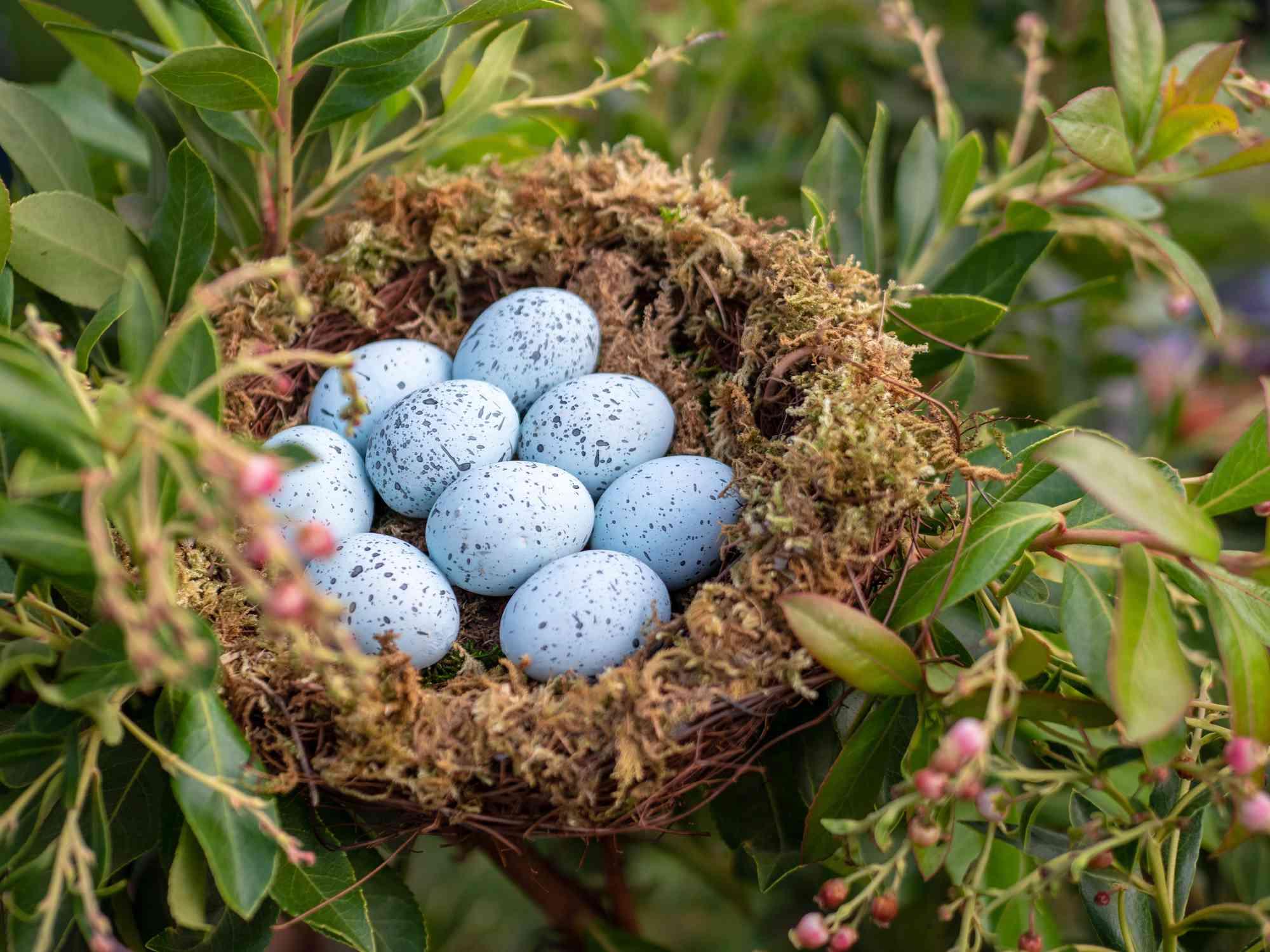 Nest of blue jay eggs
