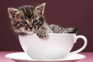 Kitten in saucer