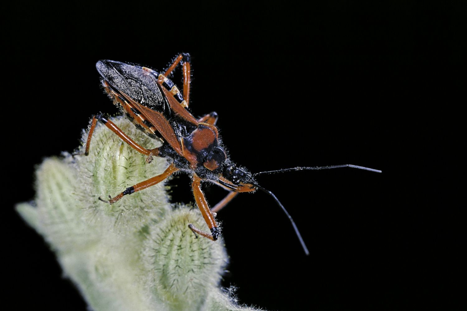 Male assassin bugs guard their eggs after mating. They also eat some of the eggs in the process.