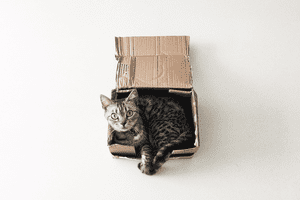 American shorthair cat in a cardboard box