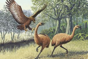 An artist's rendition of a Haast's eagle attacking moa.