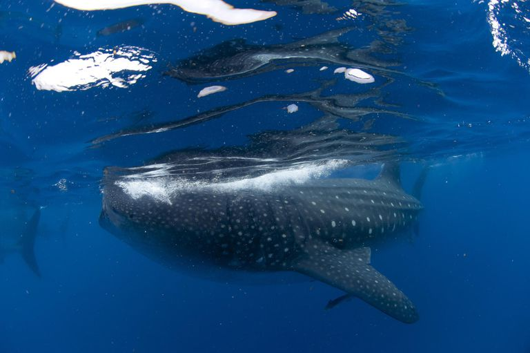 Whale shark and suckerfish, Gulf of Mexico, Mexico, North America