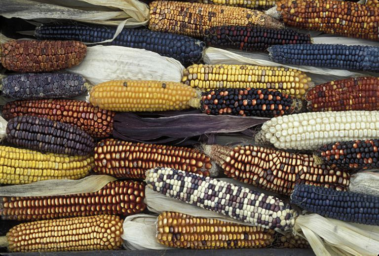 HEIRLOOM, INDIAN AND FIELD CORNS.