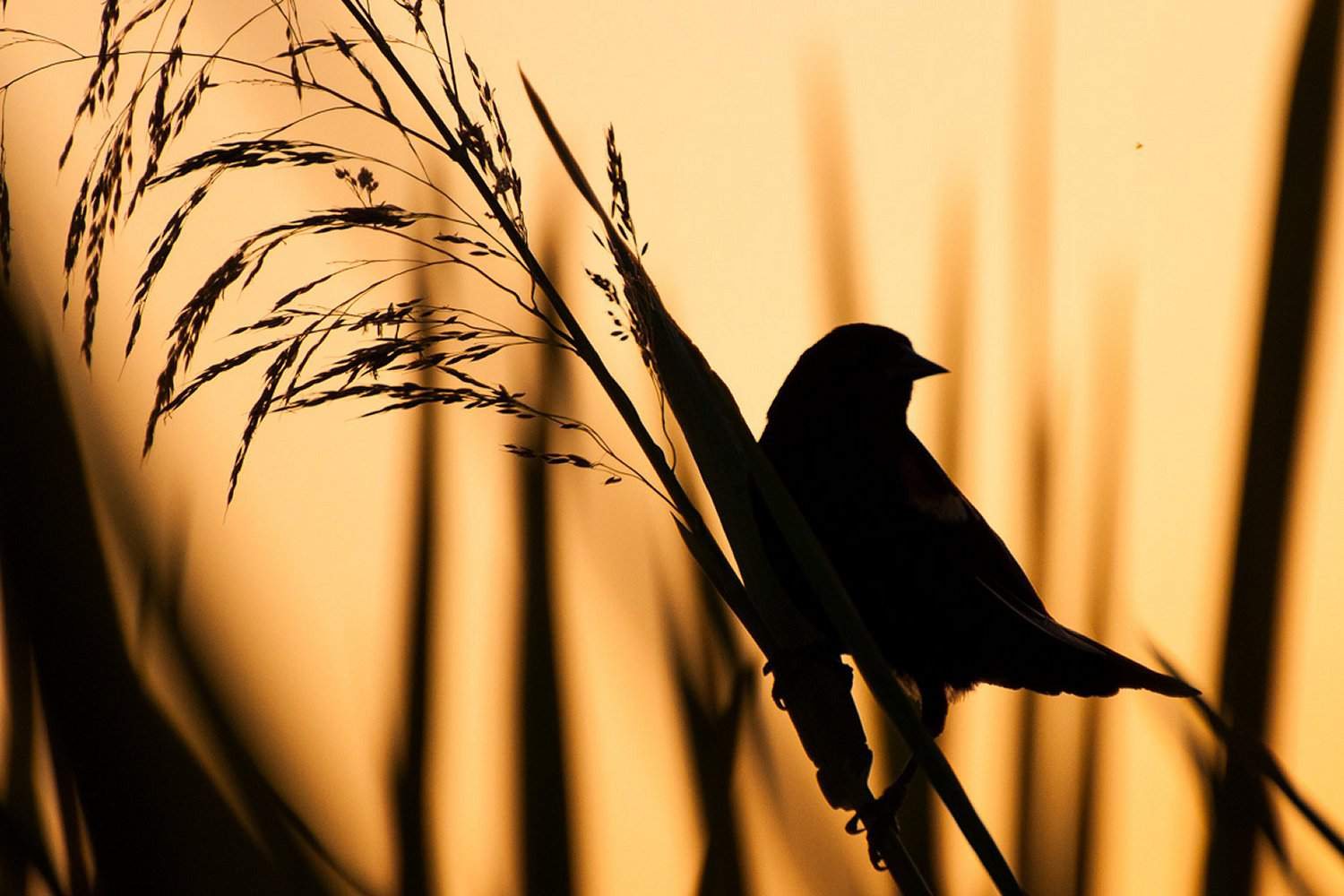 A blackbird silhouetted against a sunset