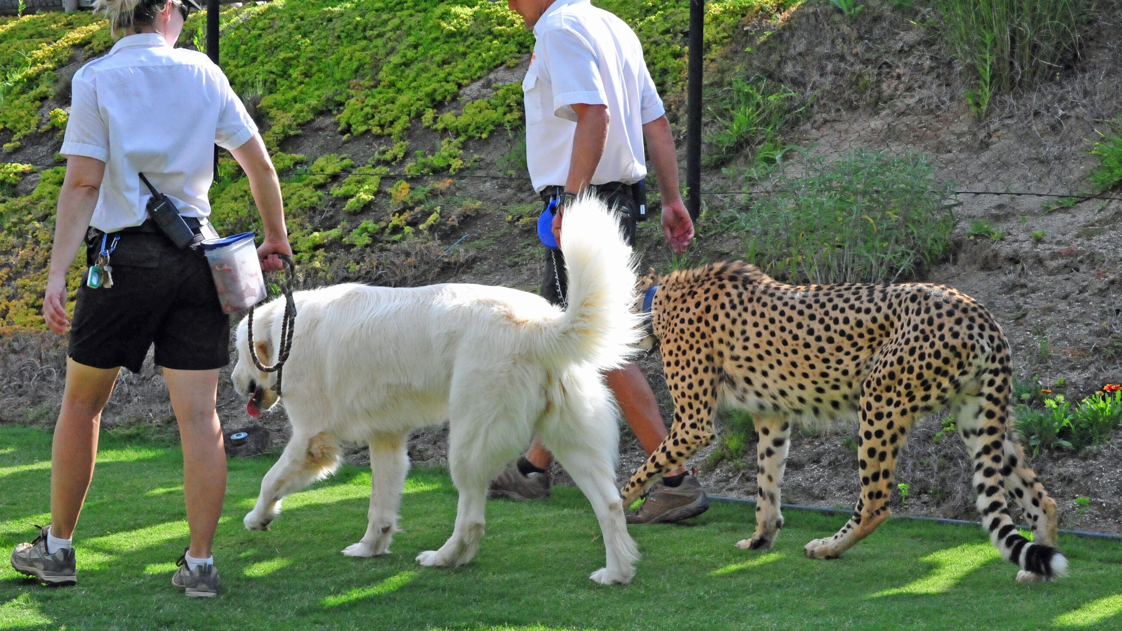 7717e6b27f2 How Dogs are Helping Cheetahs