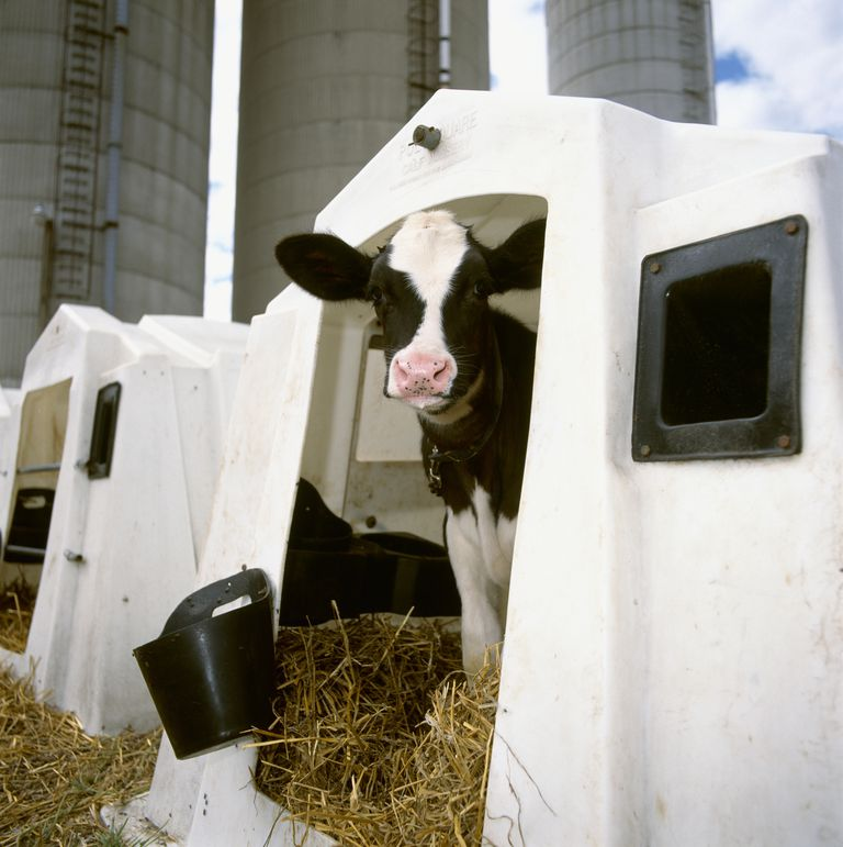 A Holstein dairy calf in a hutch at a dairy