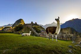 Llamas at first light at Machu Picchu, Peru, South America
