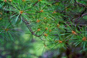 eastern white pine tree needles