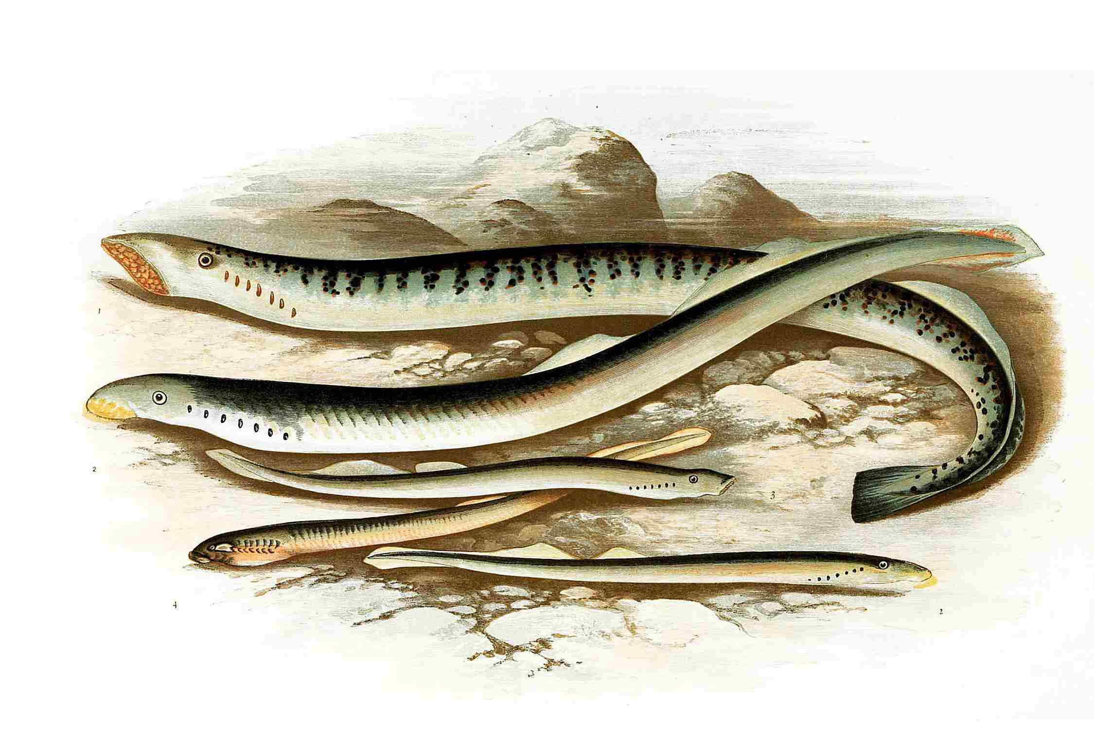 Sea lamprey, lampern and Planer's lamprey