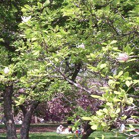 Saucer Magnolia, Central Park