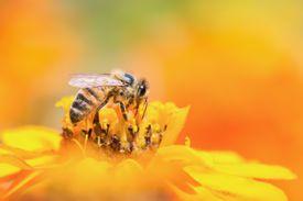Honeybee collecting pollen from yellow flower