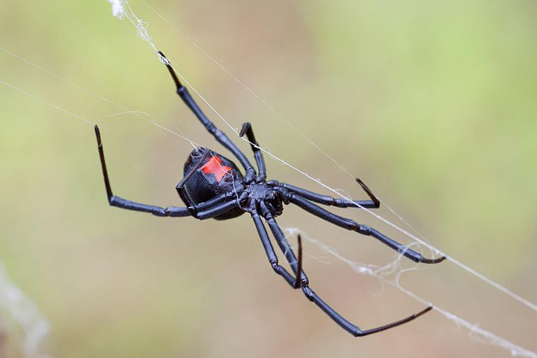 10 Fascinating Things About Black Widow Spiders