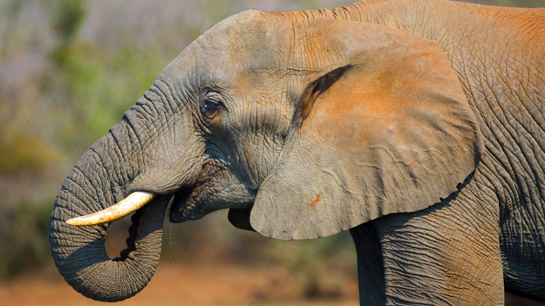How Does an Elephant Use its Trunk?