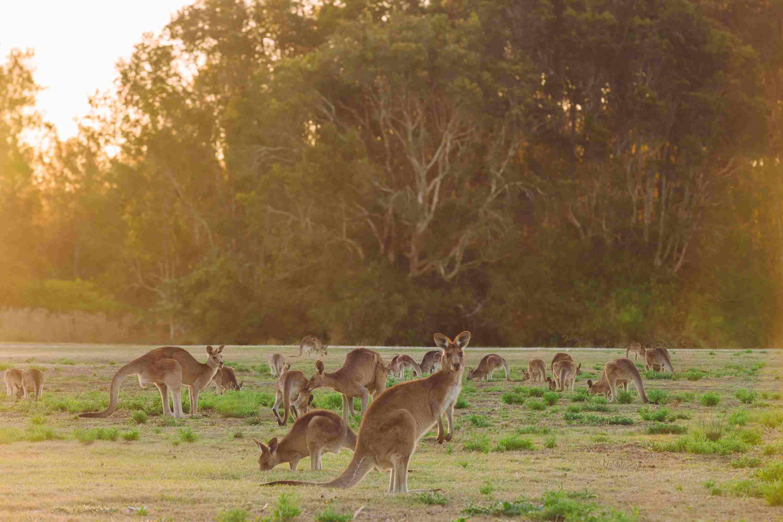 herd of kangaroos