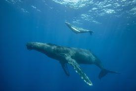 Humpback Whale, an Example of a Viviparous Marine Animal