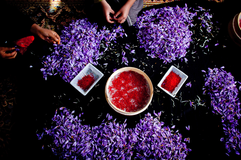 Saffron Harvest in Herat, Afghanistan