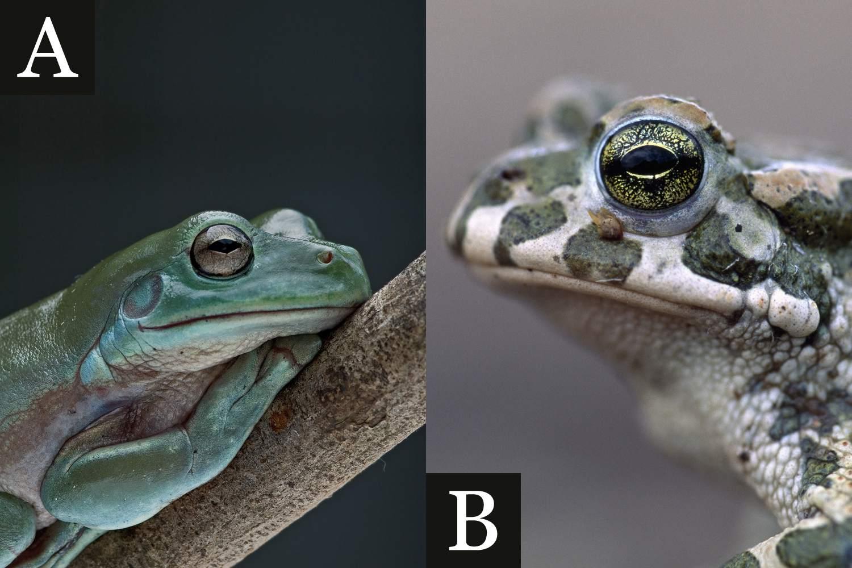 Amphibian: Warts or No Warts?