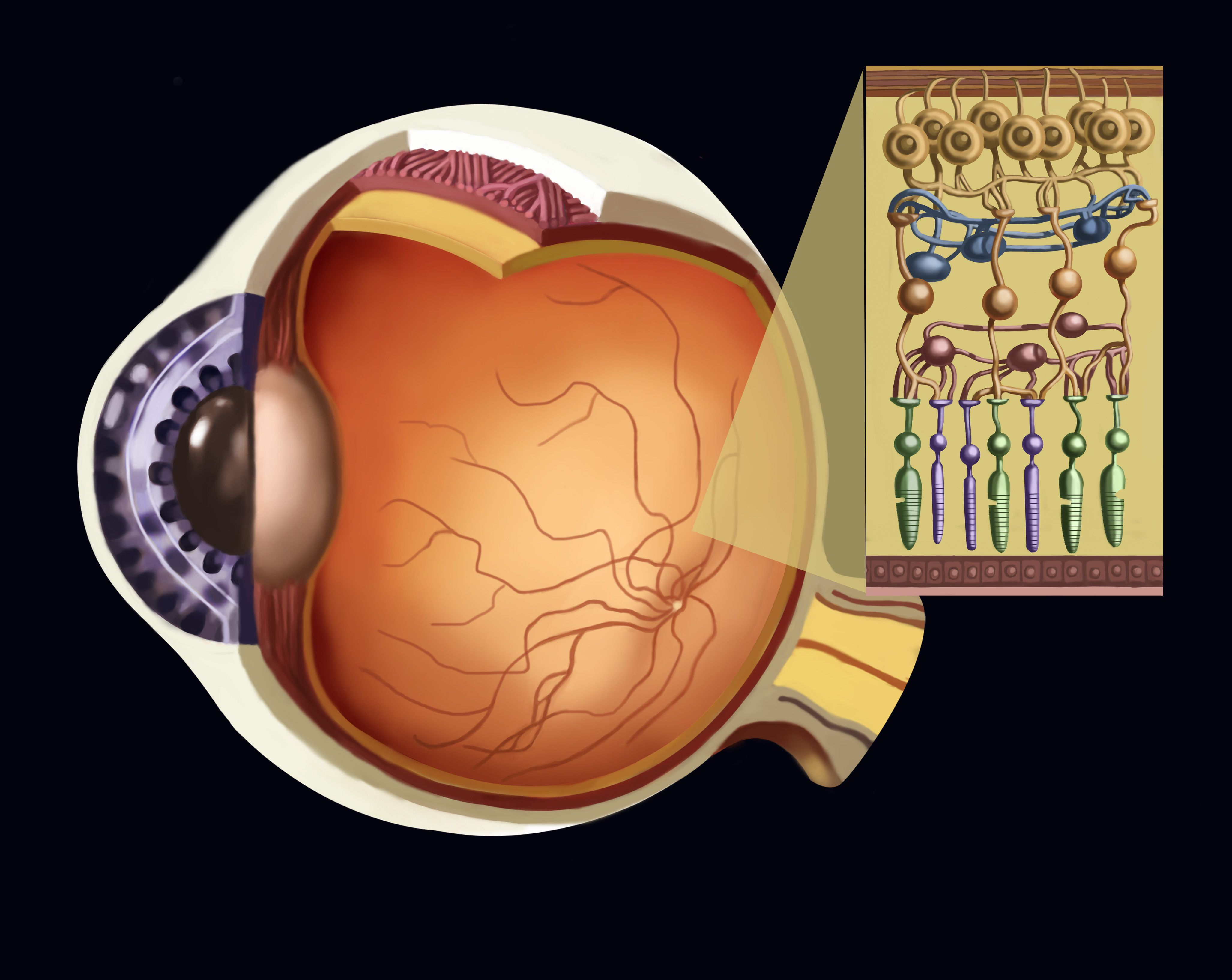 How the Human Eye Works (Structure and Function)