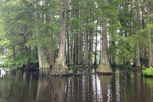 baldcypress trees