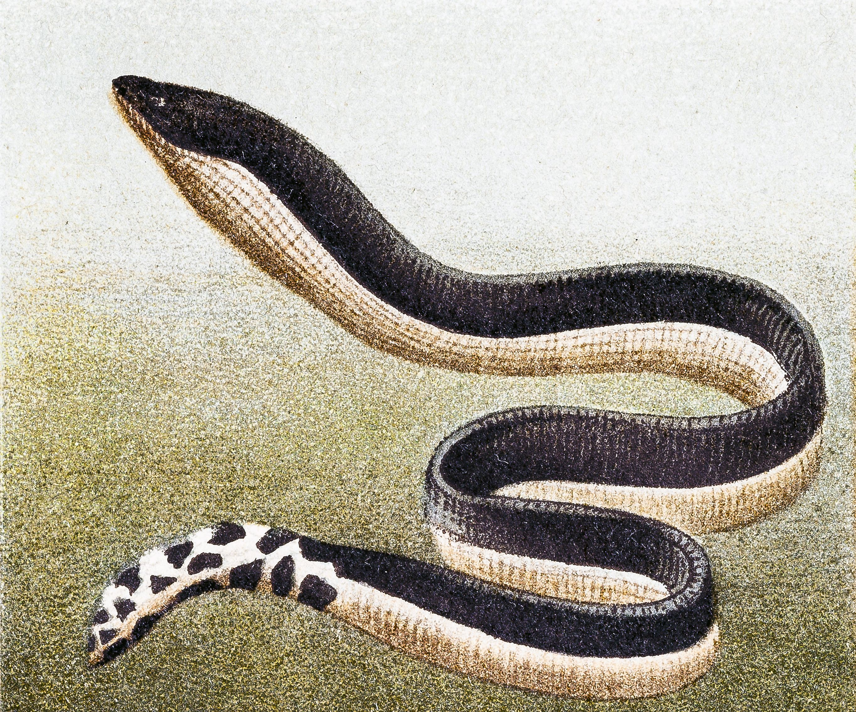 Yellow-bellied sea snake (Hydrophis platurus), illustrating the body shape of a true sea snake.
