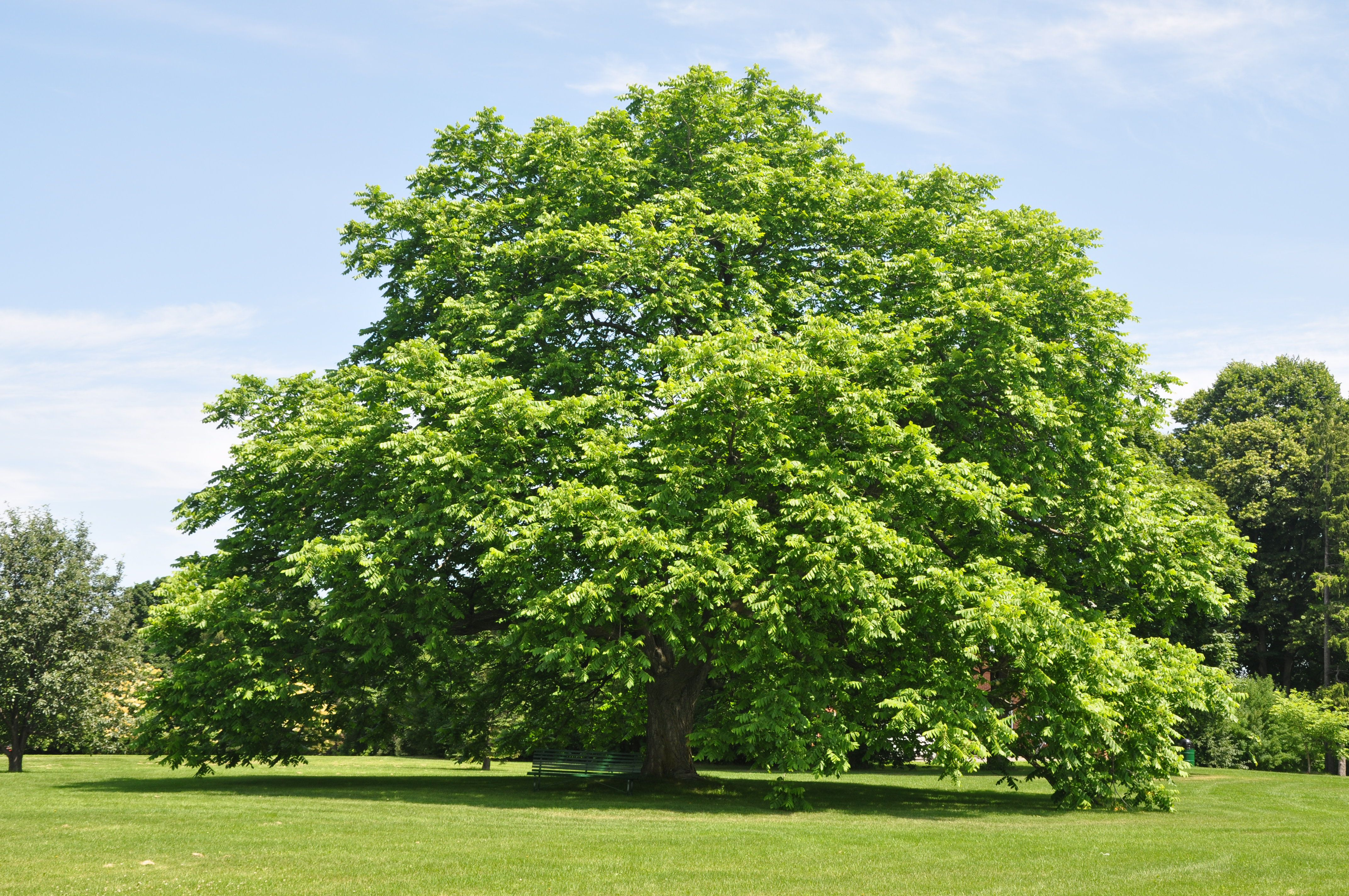 Black Walnut Tree Stock Photos and Pictures Getty Images Young black walnut tree pictures