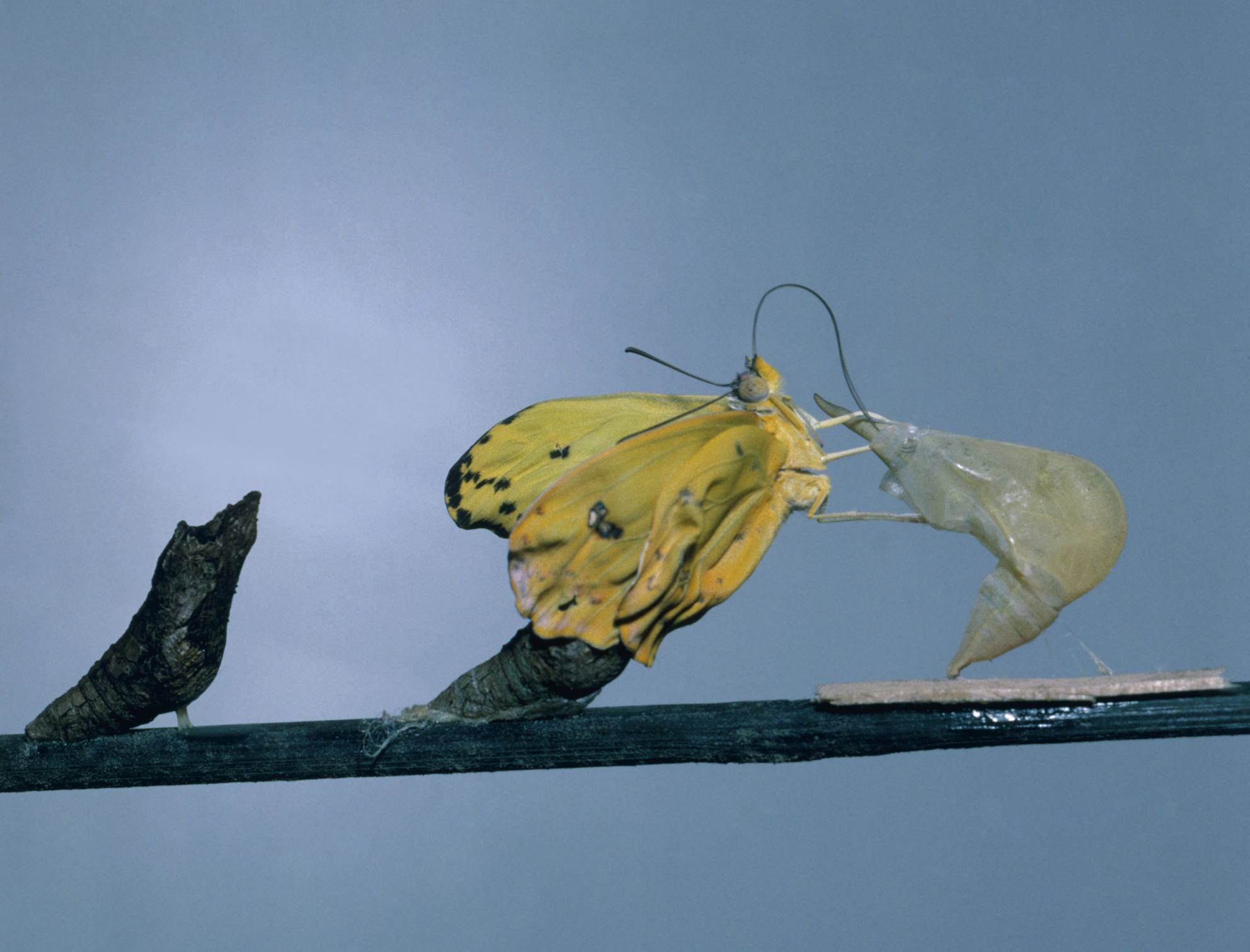 Yellow butterfly hatching