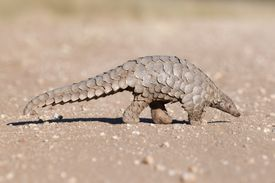 Pangolin hunting for ants