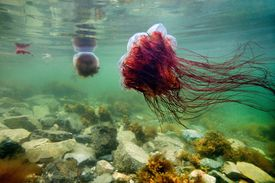 Lion's Mane Jellyfish in shallow waters