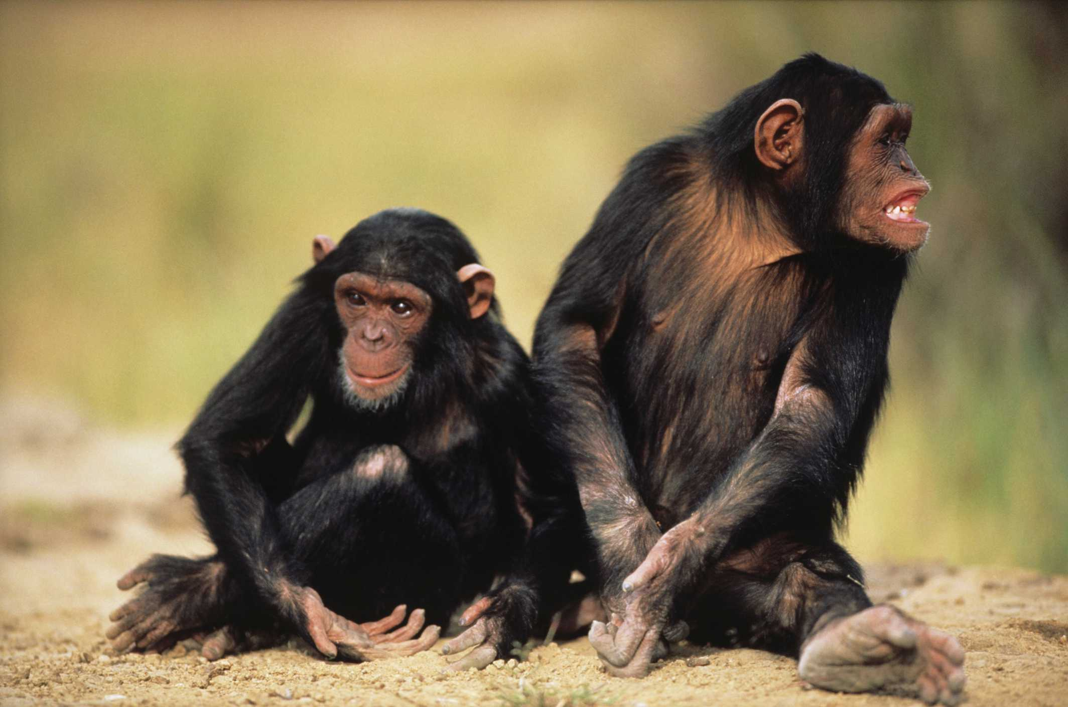 Two chimpanzees sitting next to one another