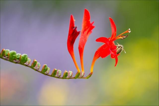 A wasp on a red flower