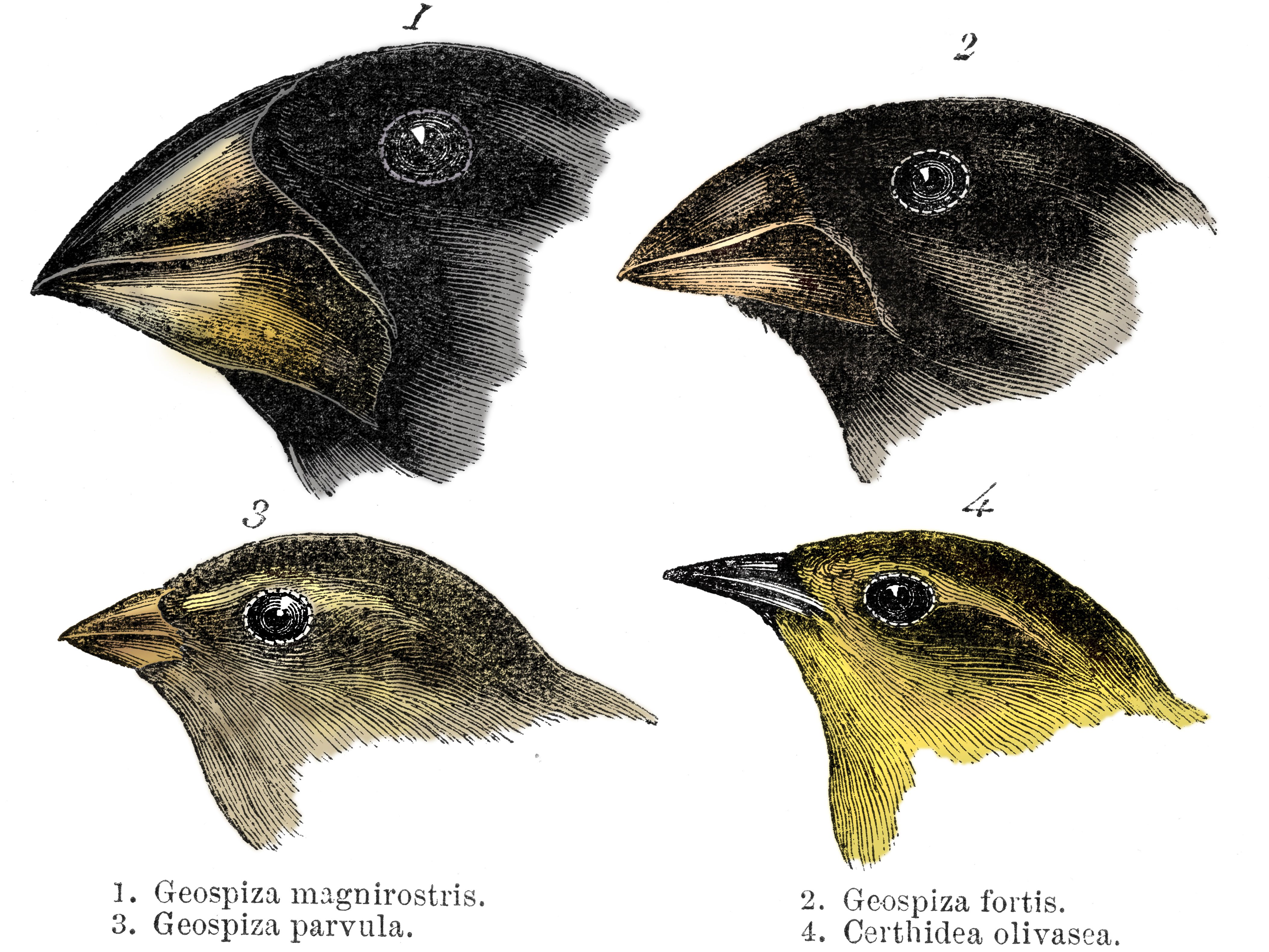 Charles Darwin s Finches and the Theory of Evolution d0f44c7d8d3