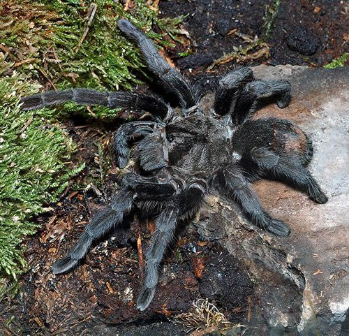 Pet Tarantula Pictures And Care Information