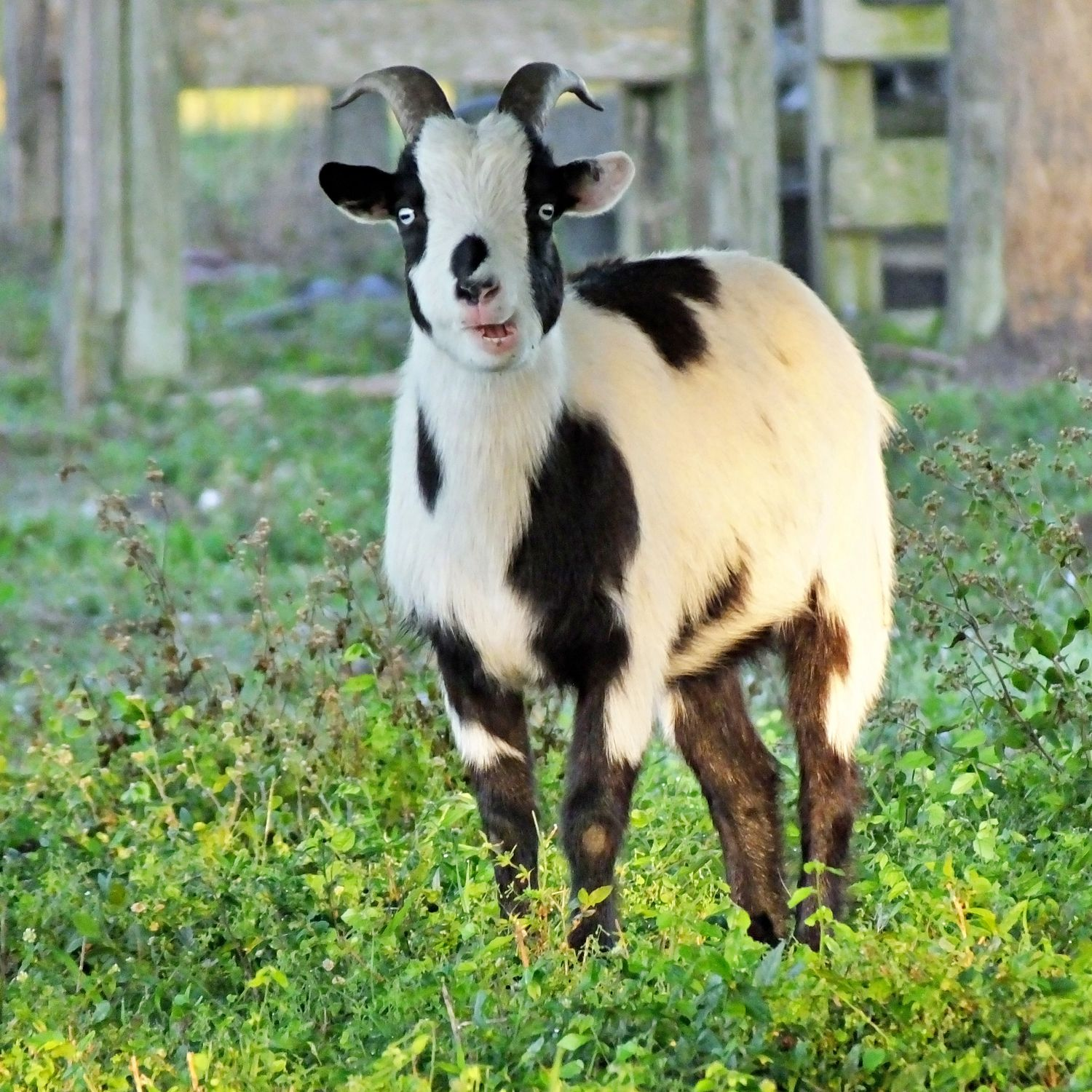 Fainting Goat Facts
