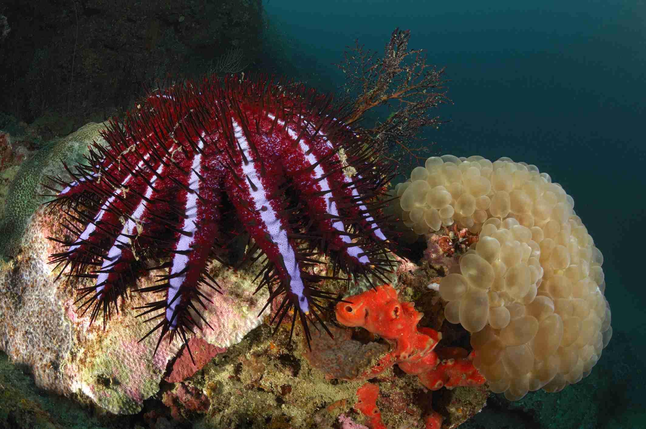 Crown-of-Thorns Starfish / Borut Furlan / WaterFrame / Getty Images
