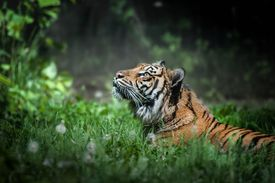 A tiger in the garden