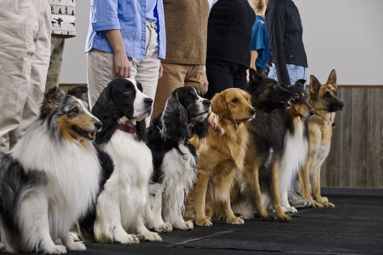 Line of purebred dogs in obiedience class