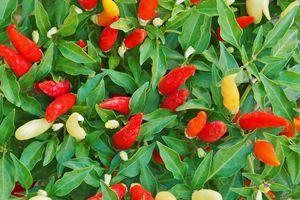 Close up of chili peppers growing.