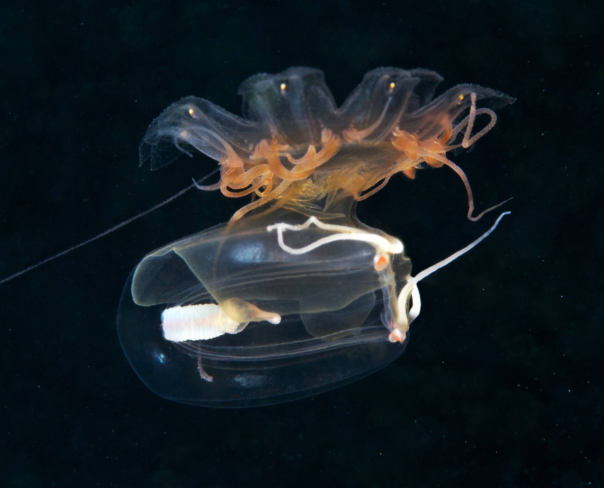Jellyfish Facts