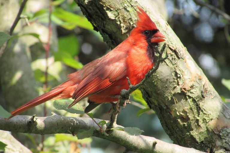 Kentucky State Bird Kentucky Cardinal