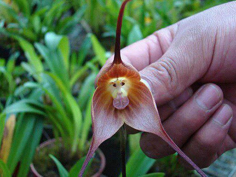 Whats This Thing Called A Monkey Orchid