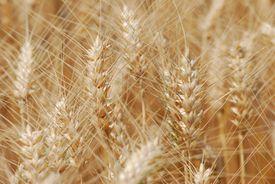 Wheat Field in Kansas, USA