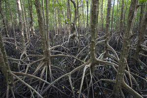 Pean Krasop Mangrove Sancturay. Cambodia.