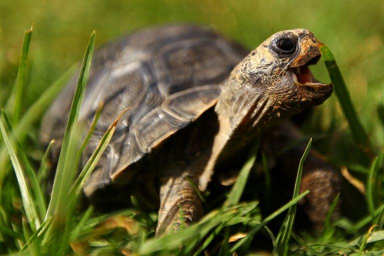 Galapagos Island Tortoise