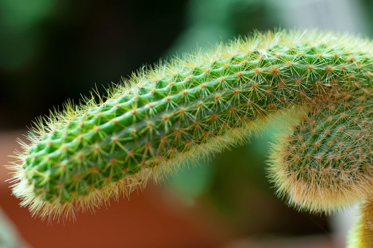 Catus shaped like a penis.