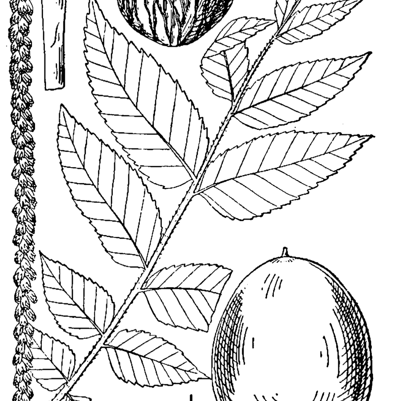 Black Walnut Is a Common North American Tree