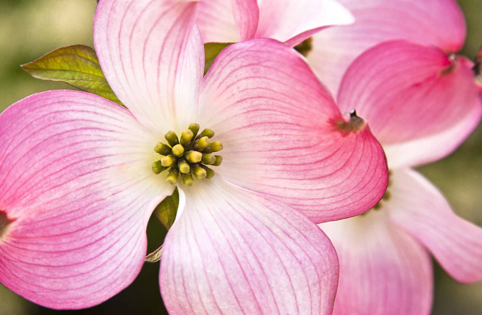 Photo Gallery Flowering Dogwood Blooms