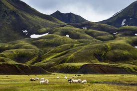 Sheep grazing in Landmannalaugar, Highlands of Iceland