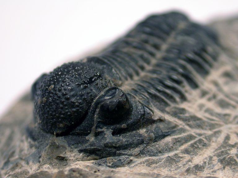 Phacops trilobyte