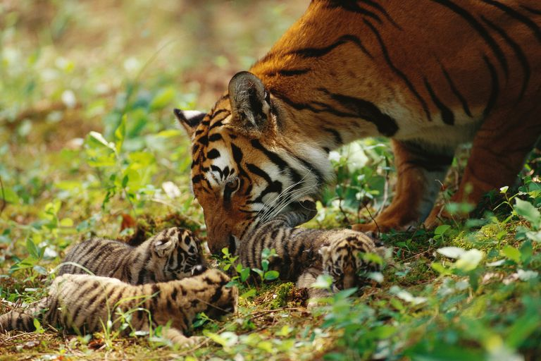 Mother tiger with tiger kittens in forest